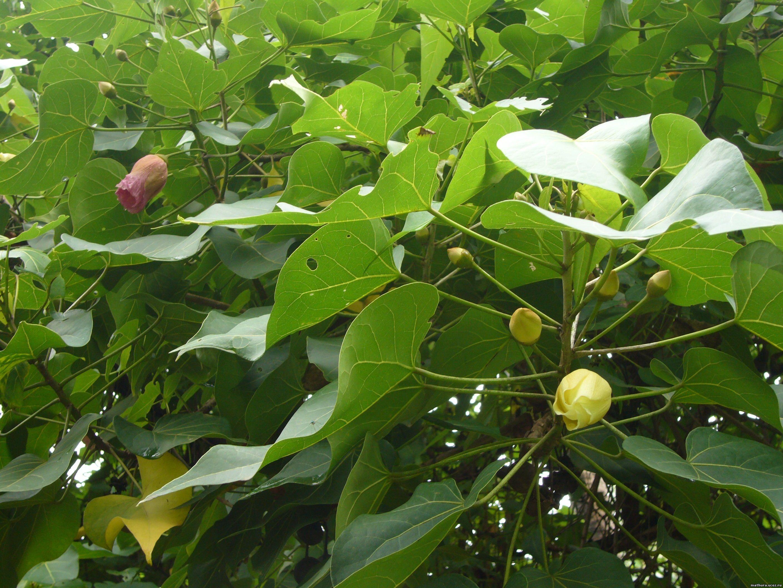 Капитана-Тюльпановое дерево-Thespesia populenia